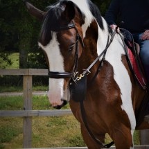 Louis 16.3hh Tri-Coloured Anglo European Gelding